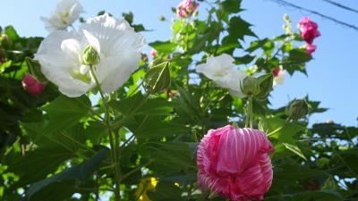 宝塚市安倉フラワーガーデンに咲く、お花を見せて貰いに行きました その2。
