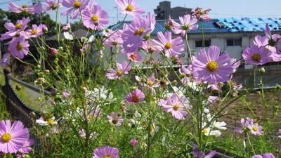 宝塚市安倉フラワーガーデンに咲く、お花を見せて貰いに行きました その6。