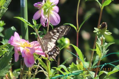 2021森のさんぽ道で見られた蝶(44)その②キアゲハ、ヒメアカタテハ、ツバメシジミ、コミスジ、ツマグロヒョウモン、アカボシゴマダラ等