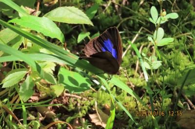 2021森のさんぽ道で見られた蝶(45)その②ムラサキツバメ、ツバメシジミ、ヒメアカタテハ、ミドリヒョウモン、キチョウ等