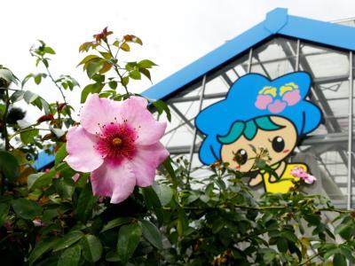 「とちぎ花センター」の秋バラ_2021_綺麗な花が咲き始めています(栃木県・栃木市)