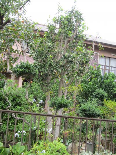 二度咲きする金木犀の原木?