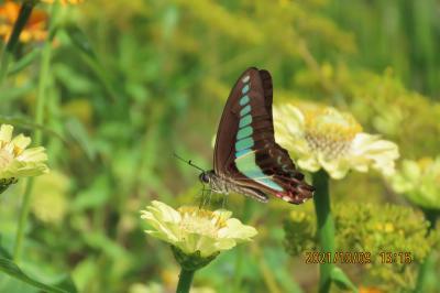 池袋西武百貨店9階にある「食と緑の空中庭園」を久しぶりに訪問②睡蓮の庭を訪れていた蝶