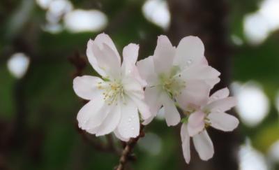 今年初めて見られた十月桜