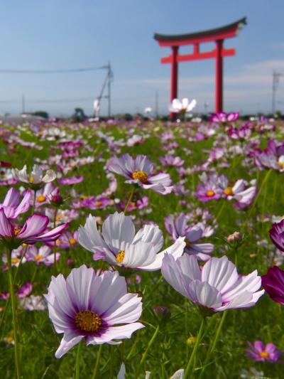 「小泉稲荷」のコスモス_2021_開花が進んで見頃になりました。(群馬県・伊勢崎市)