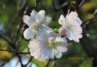 その後の十月桜