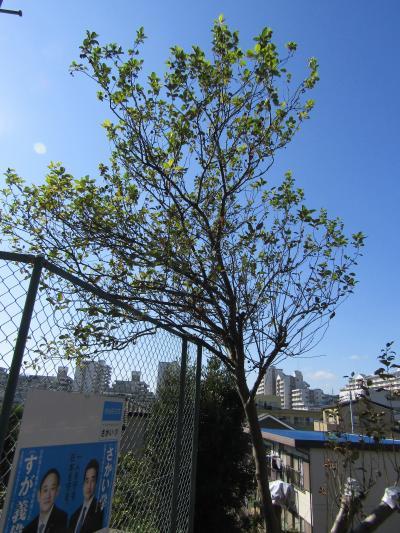 横浜ではリンゴの樹には実が付いても成らない