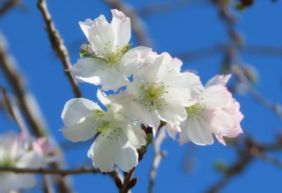 美しかった冬桜 その①