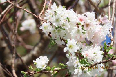 美しかった冬桜 その②
