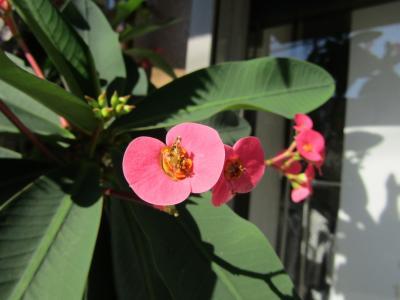 ハナキリン(花麒麟)とそれに似た花