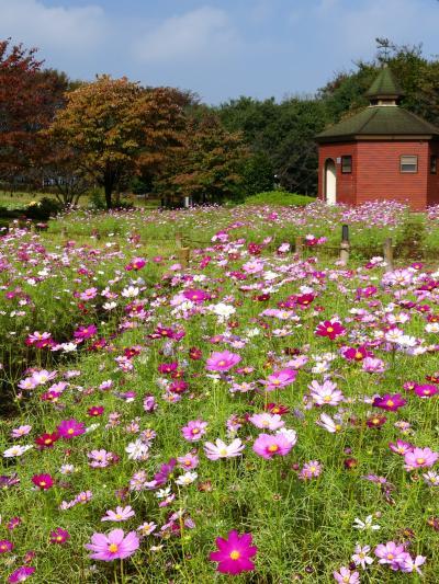 「深谷グリーンパーク」のコスモス_2021_5分咲きくらい、見頃始まりです(埼玉県・深谷市)