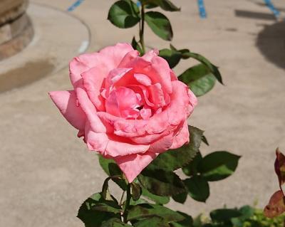 USJの秋の薔薇🌹園