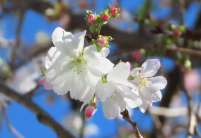 美しく輝いていた冬桜