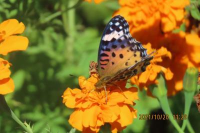ふじみ野市西鶴ケ岡地区を散策しました・・・マリーゴールドの花で見られた蝶