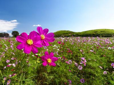 「二子山古墳」のコスモス_2021_沢山咲いていましたが、見頃過ぎでした(群馬県・高崎市)