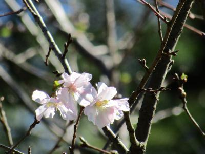鍛冶ヶ谷北公園山頂の桜は十月桜