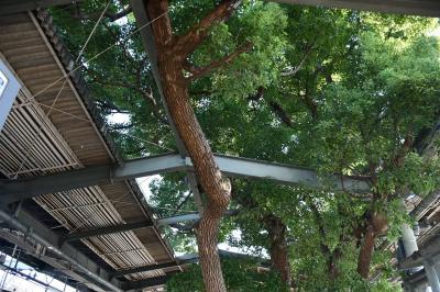京阪電車萱島駅舎には大木が聳えたっています