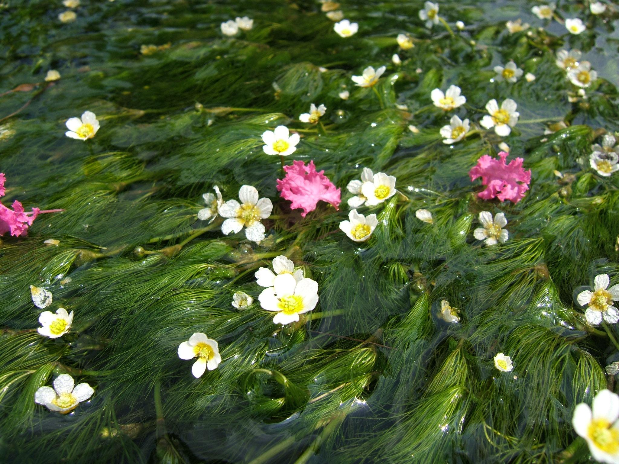 梅花 藻 滋賀