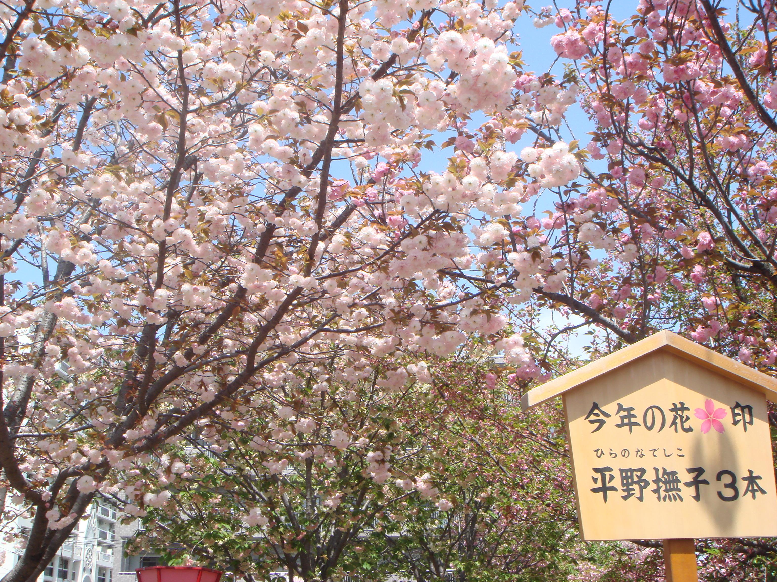 今年初めて「大阪造幣局桜通り抜け」に行きました。\u003cbr /