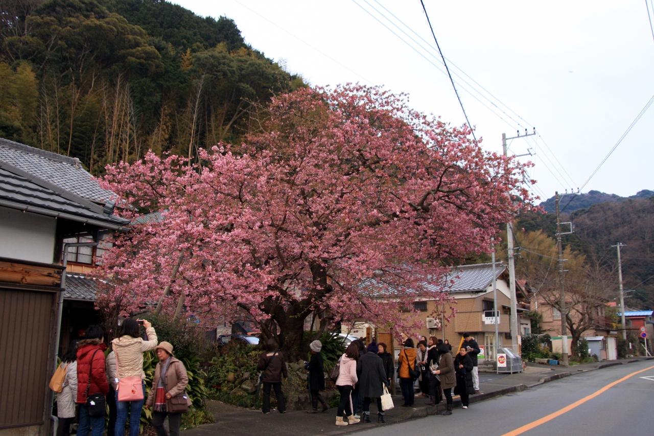 の どこ 河津 が 桜 見つかっ た の 苗 原木 は
