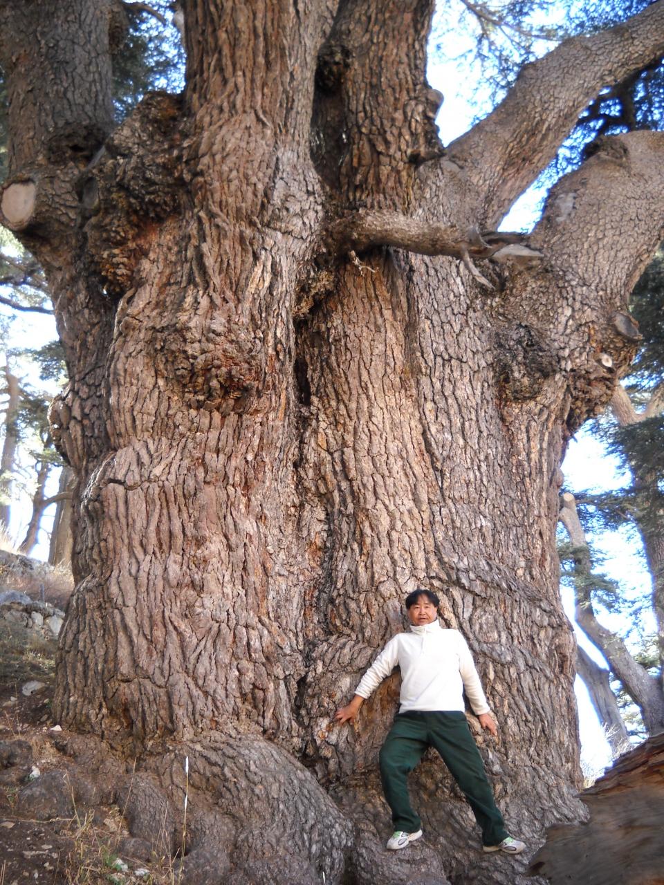 レバノン杉は松なの?』その他の都市(レバノン)の旅行記・ブログ