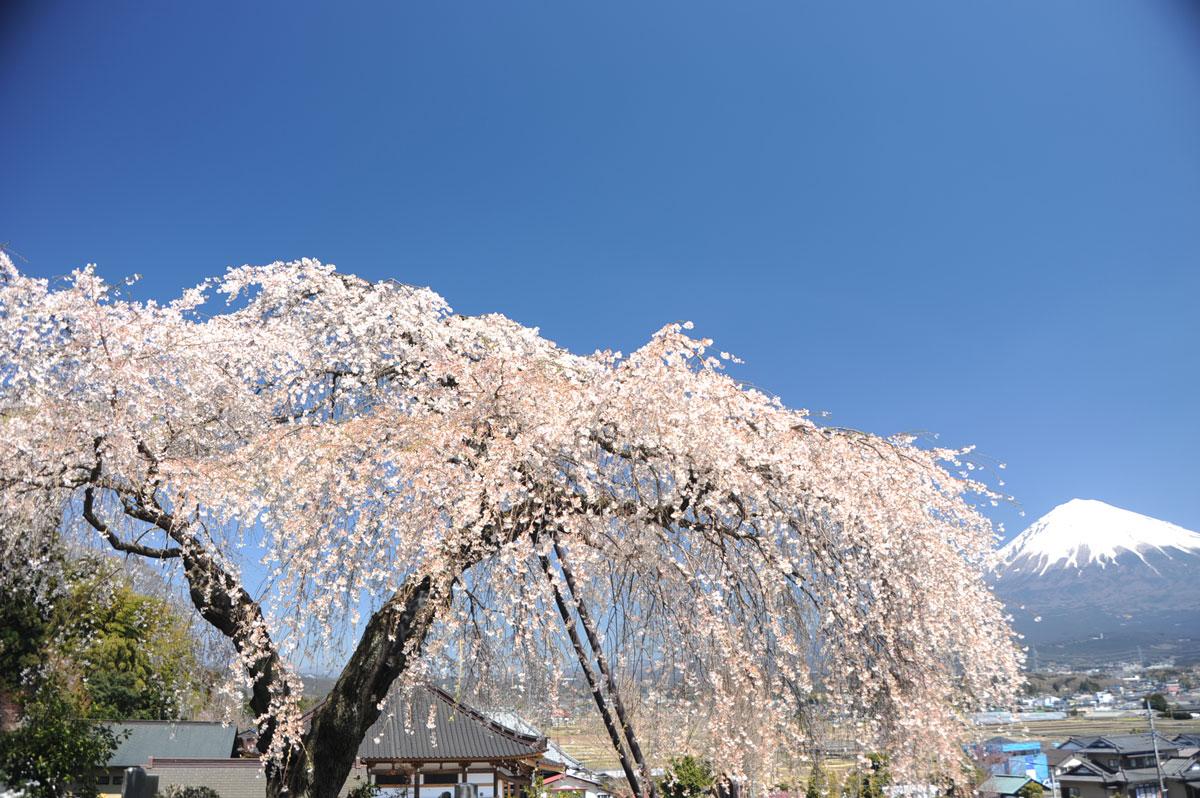 一気に桜満開~富士宮市・先照寺...