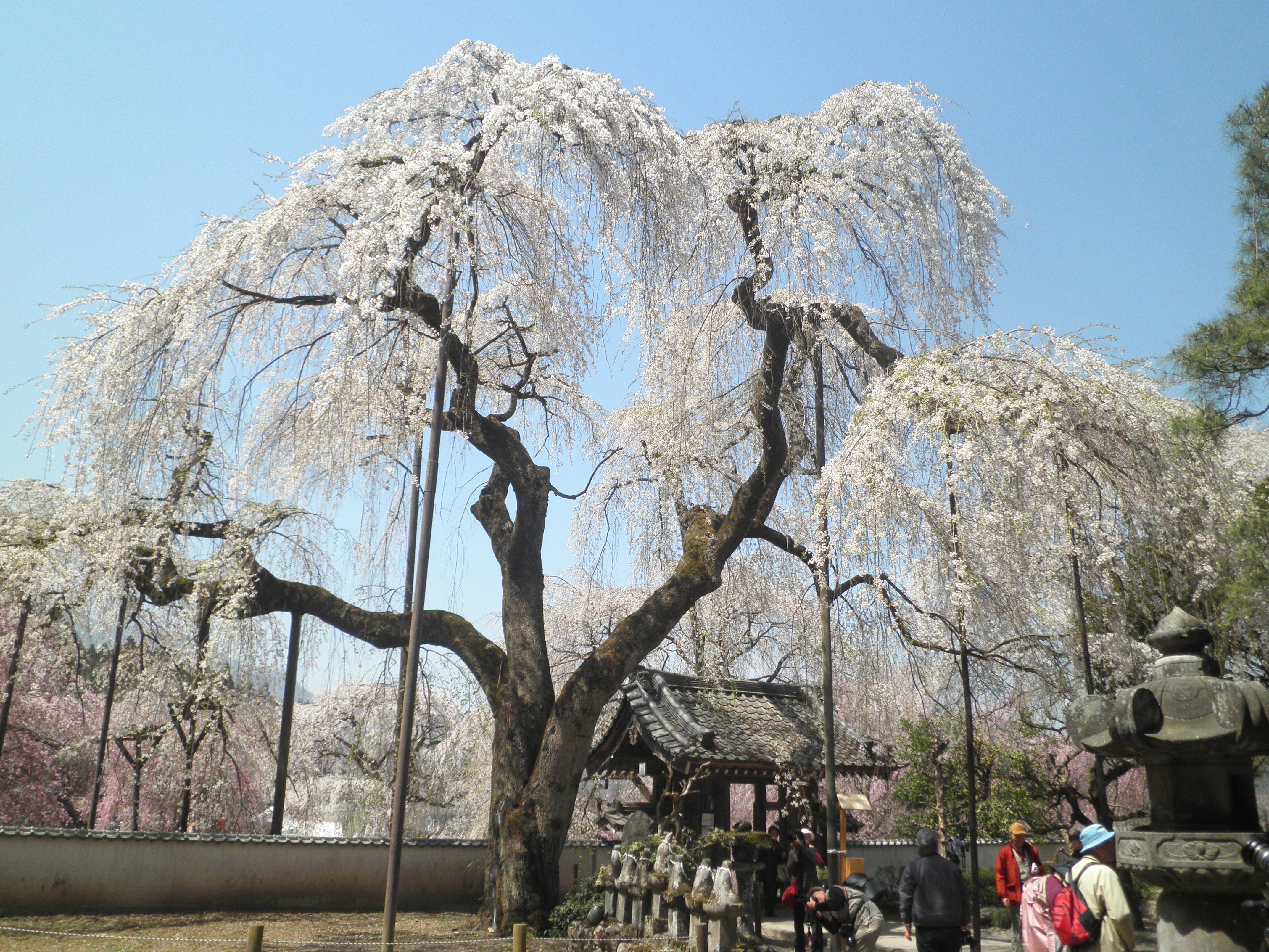 旧荒川村のしだれ桜』秩父(埼玉...