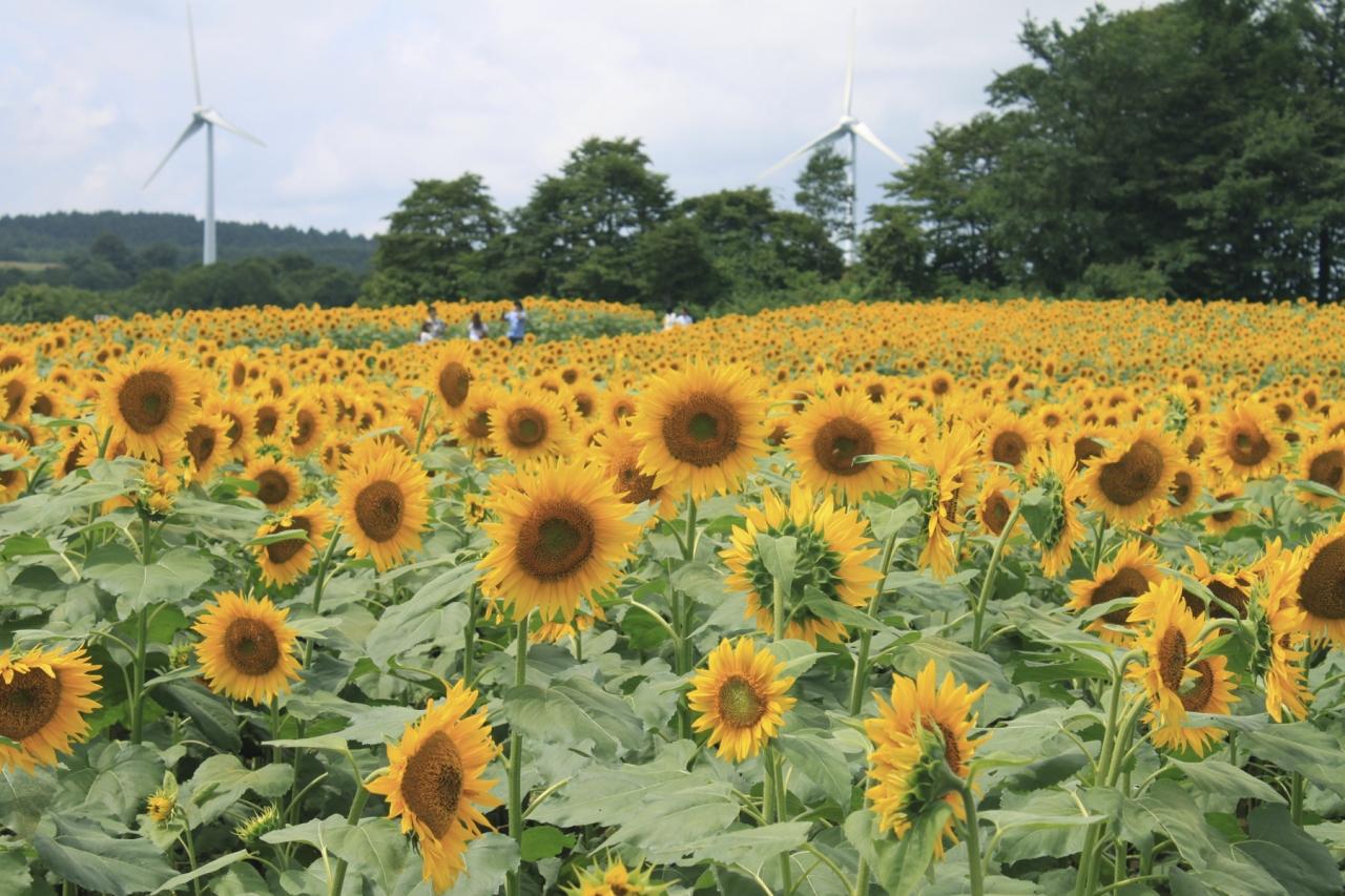 福島 ひまわり 畑