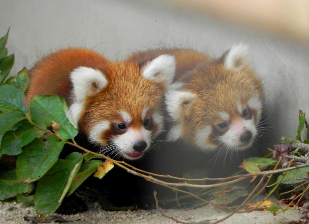 レッサーパンダちゃん大好きjilllucaさんから、徳山動物園に赤ちゃん生まれています!情報