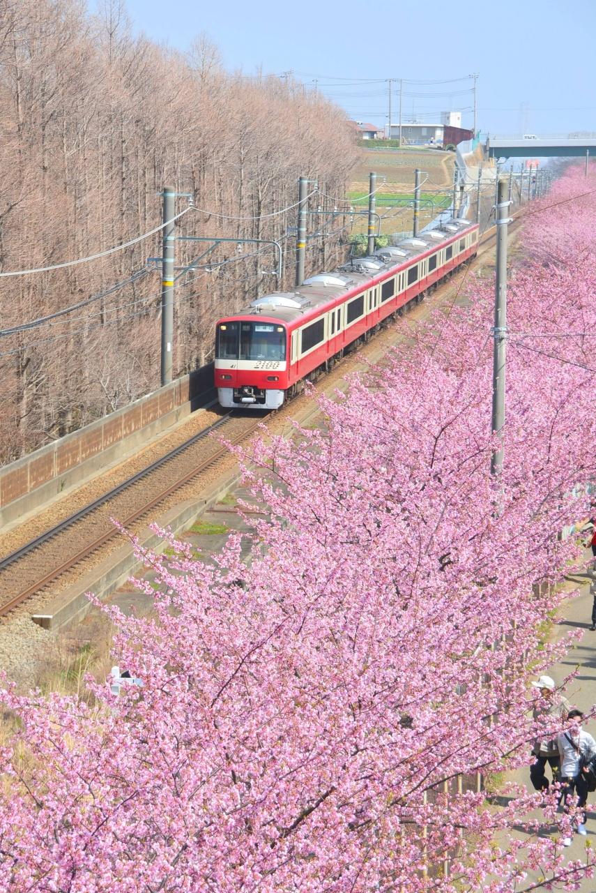 桜 まつり 海岸 三浦