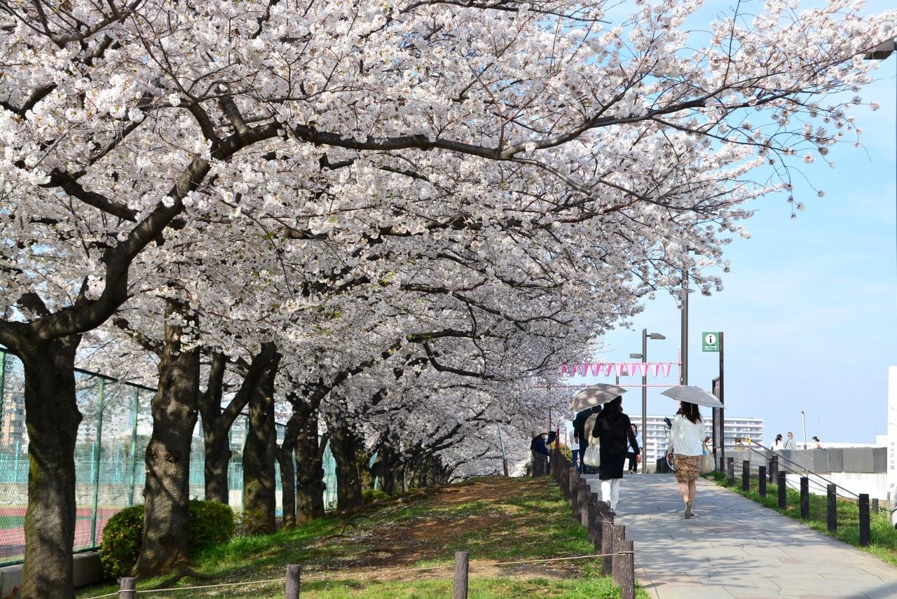 「 隅田川お花見クルーズ と 東京桜名所7景めぐり バスツアー 」  2013