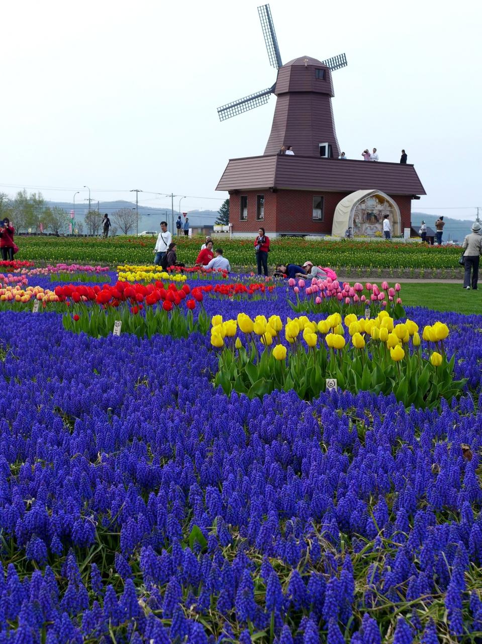 春爛漫の北海道で(滝上町芝桜、上湧別チューリップ公園)