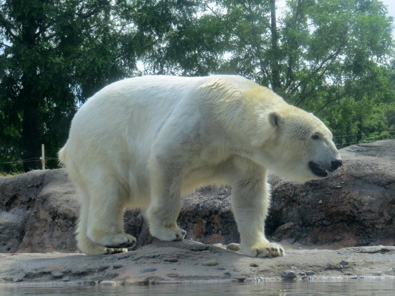 チャッピー クマ