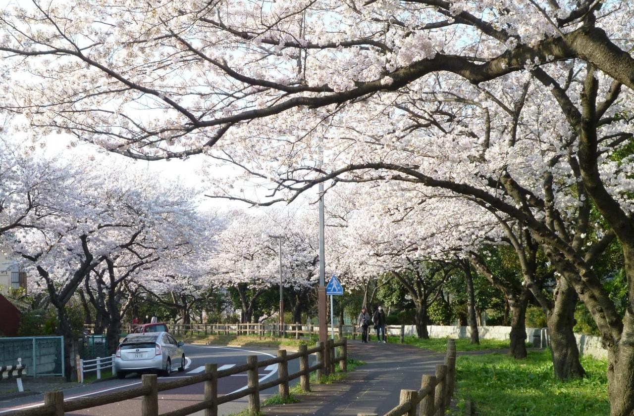 『さくら満開 東京 墨田公園、水元公園、理科大学葛飾 ...