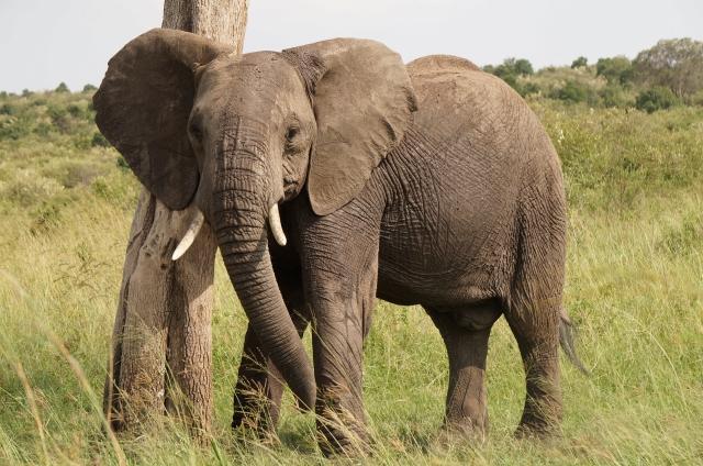 3週間でアフリカ南部を縦断 #2 マサイマラ (#2 Masai Mara)