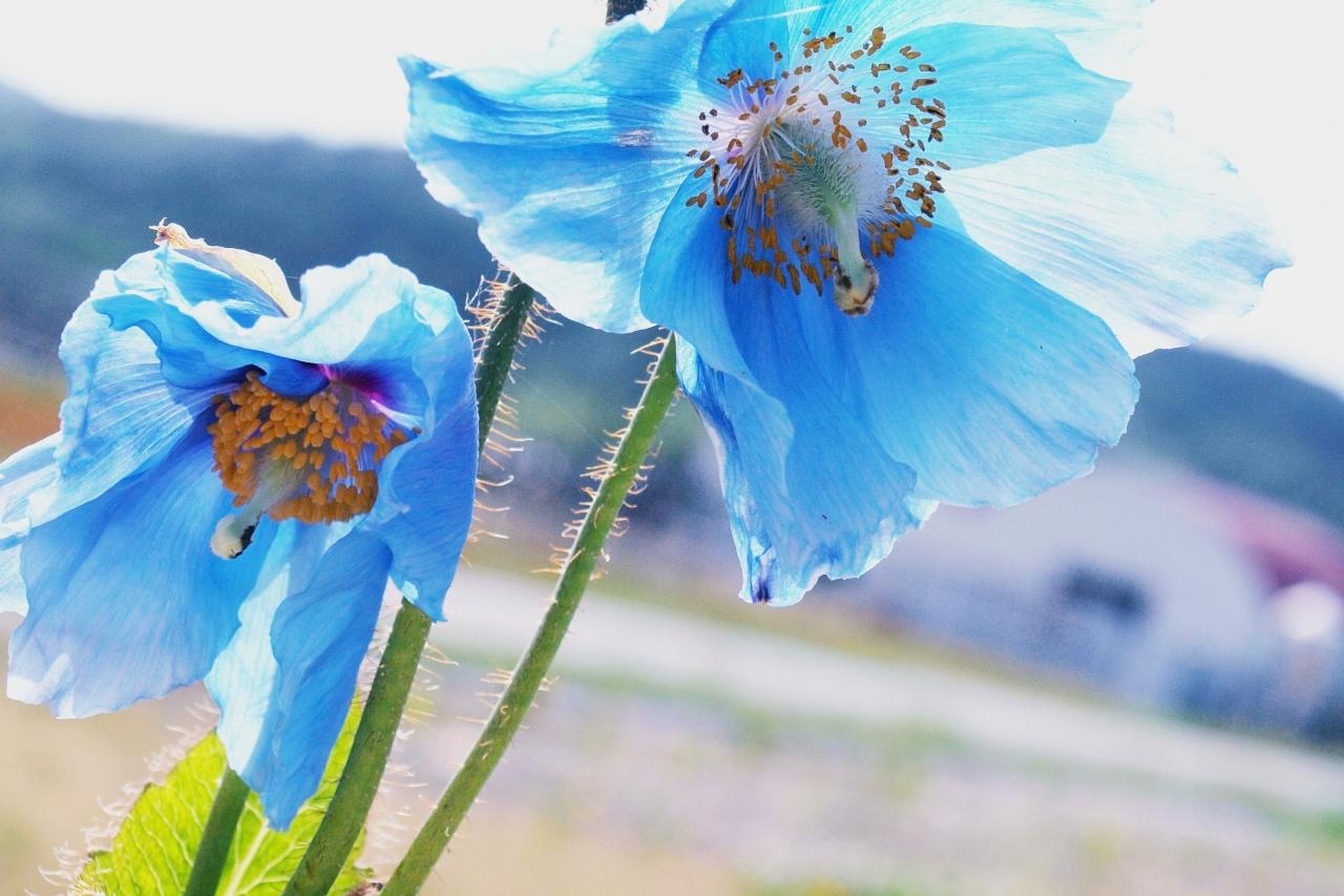 ヒマラヤの青い芥子(青いケシ)に会いたい・・・♪』天塩・遠別・幌延 ...