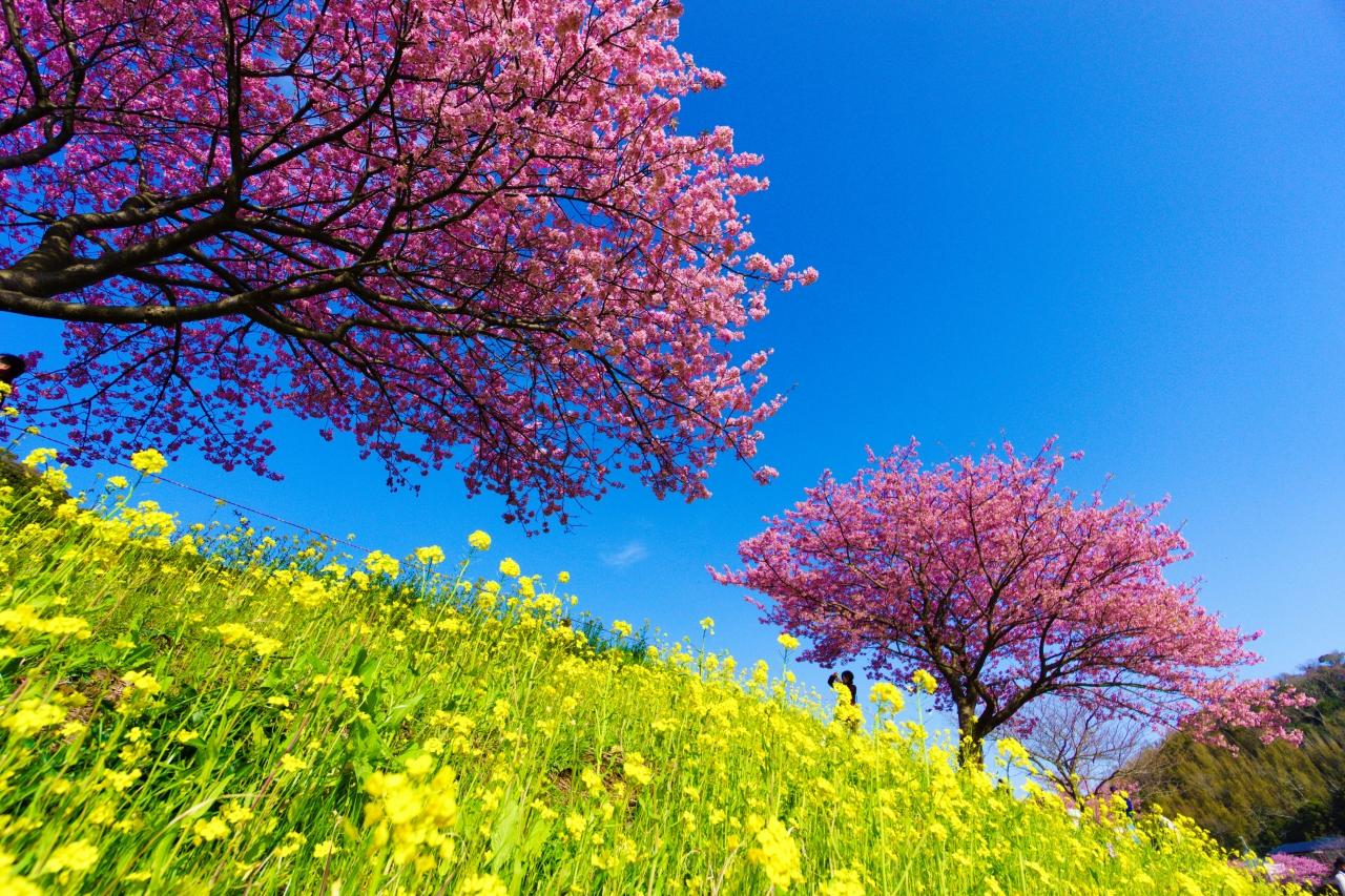 まつり と 菜の花 みなみ の 桜