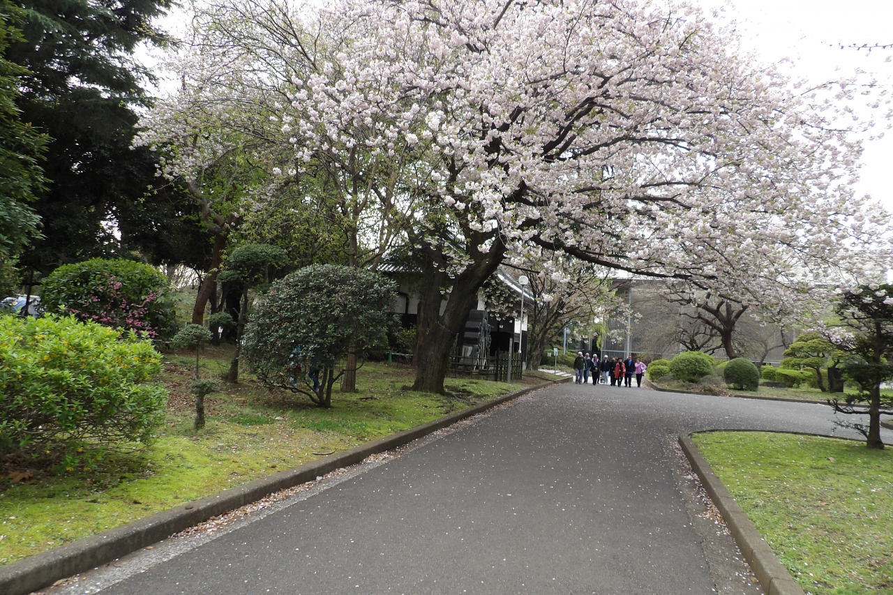 博物館でお花見を-満開の一葉桜(イチヨウザクラ)』上野・御徒町 ...