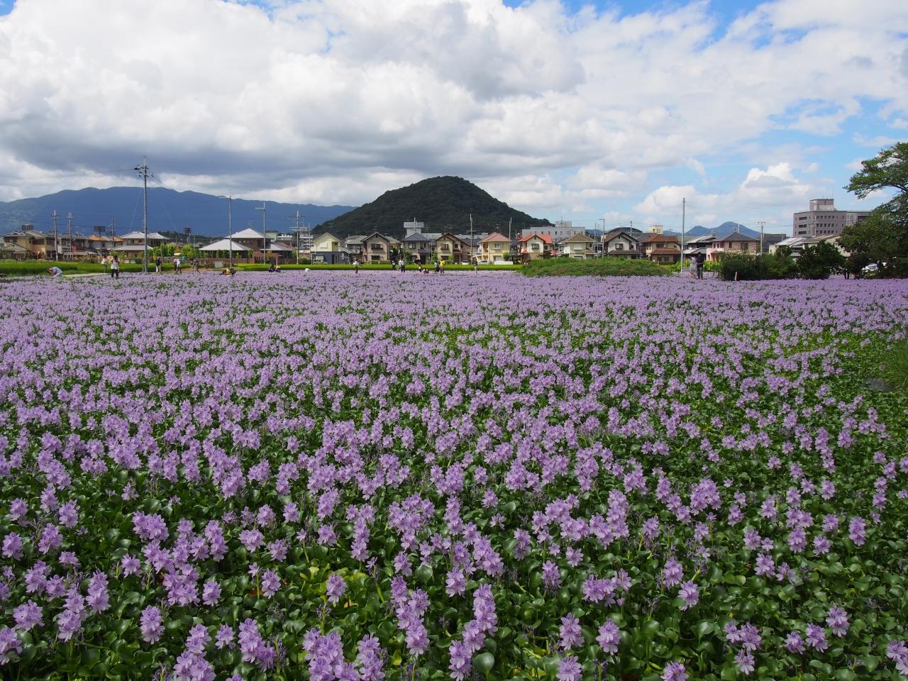 満開のホテイアオイはすごい迫力、奈良・橿原の本薬師寺跡(もとやくし ...