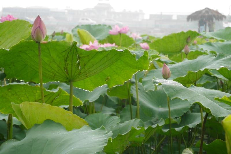 蓮の花咲く6月のハノイへハノイベトナムの旅行記ブログ By コイ