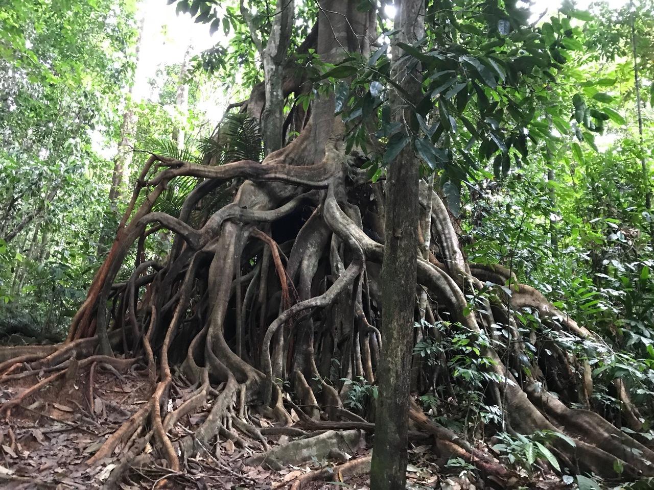『Taman Negara 国立公園 3泊4日 ジャングルウオーク』タマンネガラ