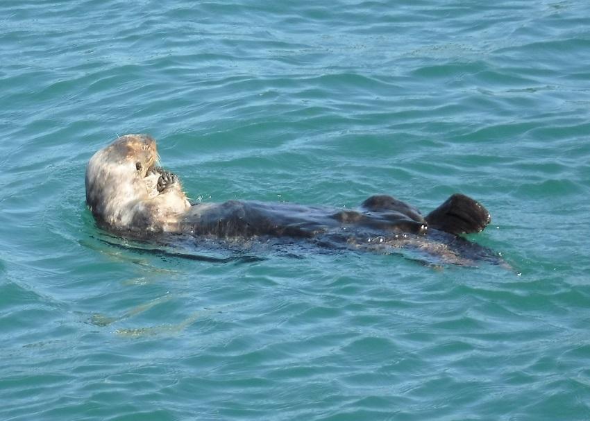 野生のラッコsea Otterを見に行こうカリフォルニア モントレー