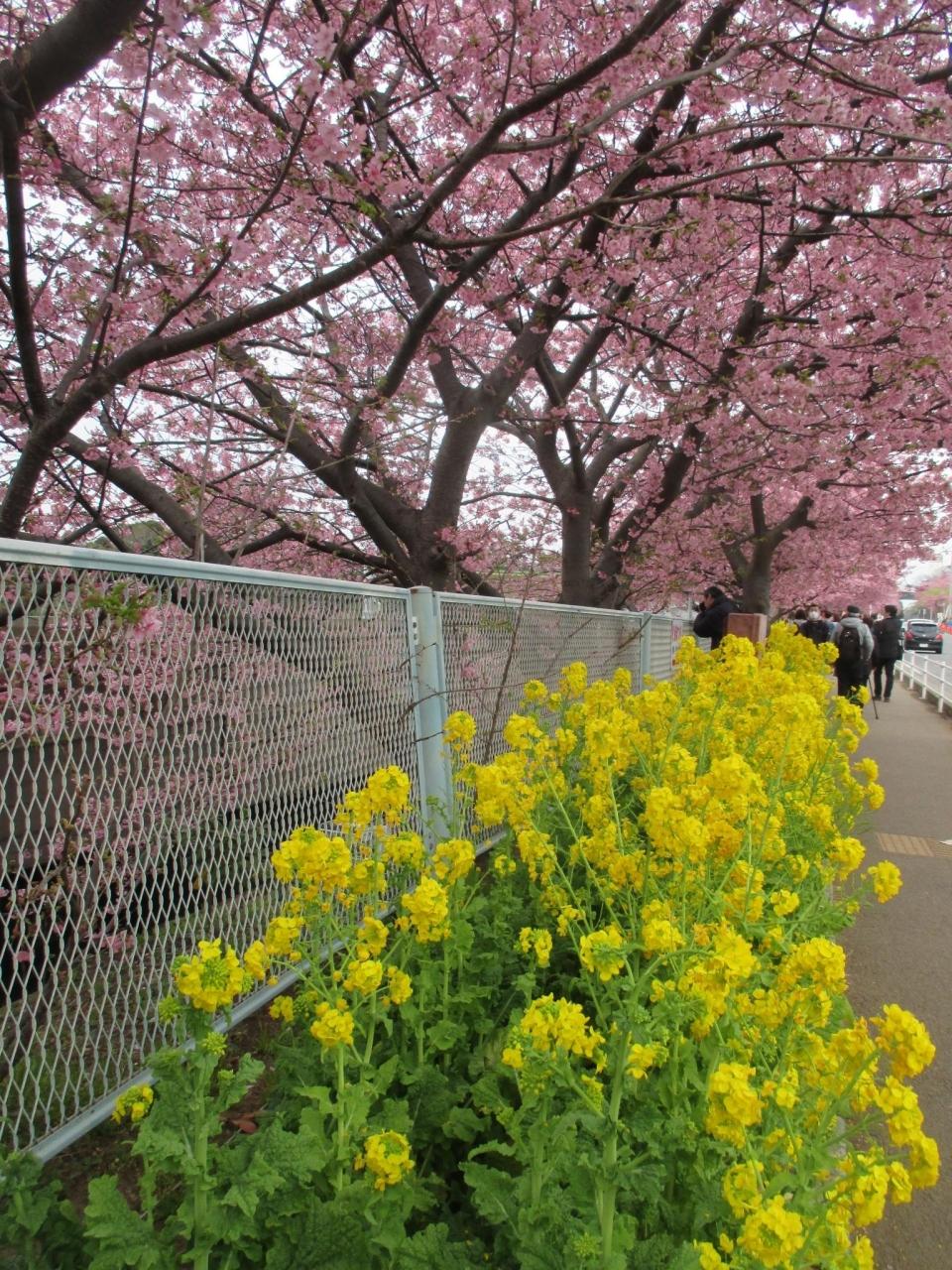 三浦 河津 桜 2020