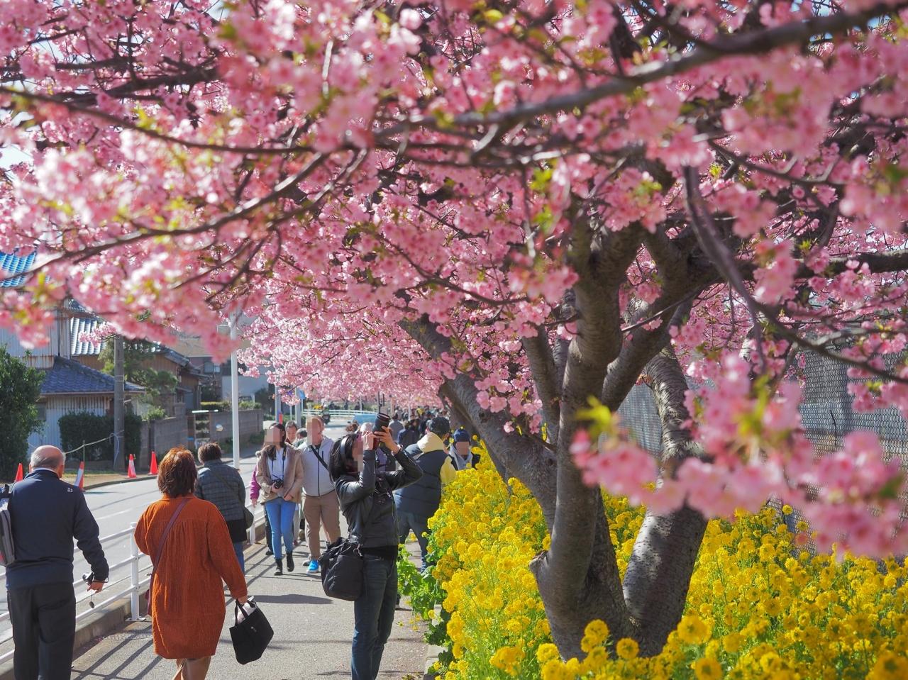 三浦 海岸 桜 まつり