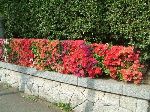 出発当日、最寄の駅まで歩いていると、そこそこでつつじがとてもきれいに咲いていました。