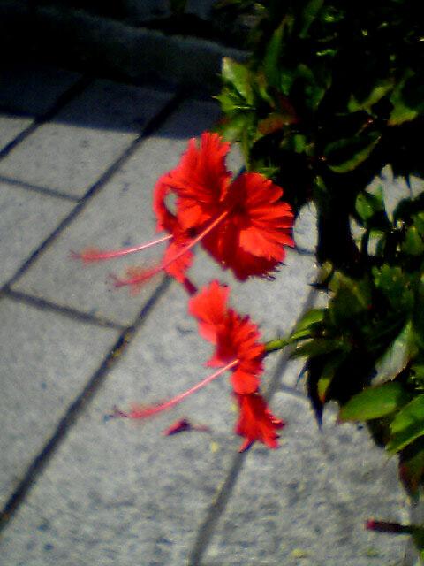 ハイビスカスが咲いていた。<br />マカオの街には似合わないが、南国であることの証拠。<br />