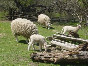 テーマパークに入ると、まずいたのが羊。<br />羊小屋からぞろぞろでてきました。<br />もしゃもしゃ草を食べてるのですが、けっこう早く動きますね、羊。