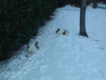 UVIC名物のウサギです。<br />キャンパス内いたるところで、チョロチョロしています。ちなみに、リスもチョロチョロ木登りしてました。