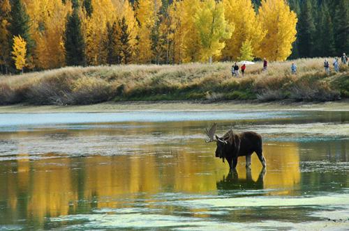 【ムース】暫くするとオスのムースもやってきた。エルク同様、角が立派だ。この後、もう一頭メスのムースがやってきて、合計3頭で微妙な距離を保ちながら水を飲んでいました。対岸にはカメラマンが大勢!