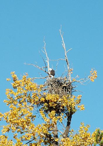 【ハクトウワシ】アメリカの国鳥(だっけ?)白頭鷲を発見!これは貴重!雛がいるらしく、2羽が交代交代で巣を見張っていた。かっこいい。<br />